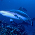 Grey reef sharks in Kadavu, Fiji