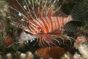 Lionfish in Fiji by Marty Snyderman