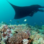 Amazing Manta Reef